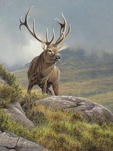 Red deer stag (Cervus elaphus) in rugged moorland