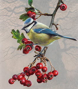 Bird on branch with berries, Blue tit (Parus caeruleus)