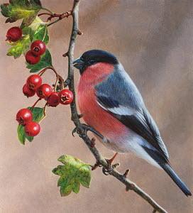 Bird on branch with berries, Bullfinch (Pyrrhula pyrrhula)