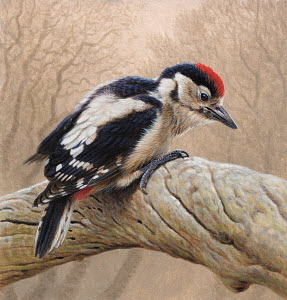 Bird perched branch, Great spotted woodpecker (Dendrocopos major)