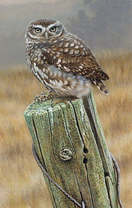 Little owl (Athene noctua) perching on fence post