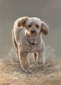 Apricot miniature poodle running looking at camera