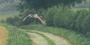Barn owl flying over rural lane in countryside