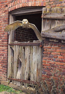 Barn owl flying out of dilapidated stable building