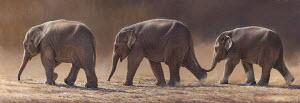 Asian elephants walking in a row