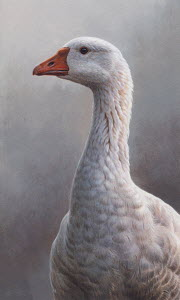 Close up of white goose