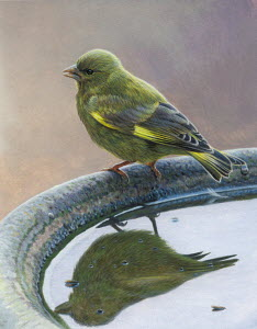 Close up of greenfinch reflected in birdbath
