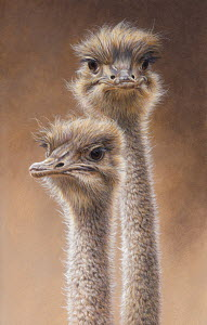 Close up of head and neck of two ostriches