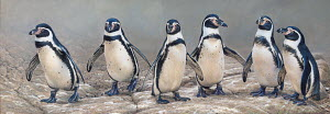 Humboldt penguins standing in a row