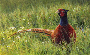 Male pheasant in wildflower meadow