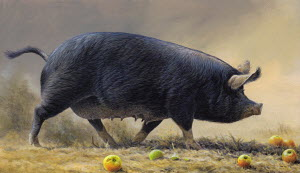 Black pig walking surrounded by apples