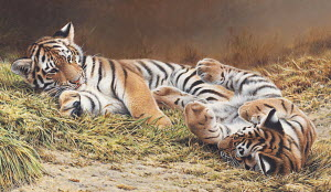 Siberian tiger cubs playing together in grass