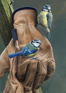 Two blue tits perched on gardening gloves hanging on nail