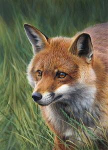 Fox stalking in long grass