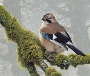 Eurasian jay perched on lichens on tree branch