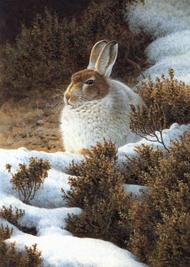 Mountain hare in snow in winter