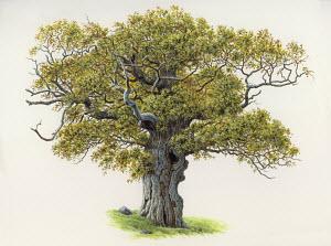 Old, gnarled oak tree
