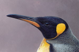 Close up of King Penguin