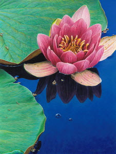 Close up of pink water lily and lily pad