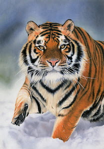 Close up of tiger walking in snow