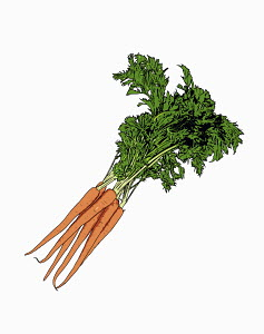 Bunch of carrots on white background