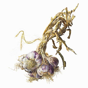 Bunch of garlic bulbs tied with string