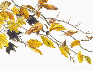 Close up watercolor painting of autumn leaves on twigs