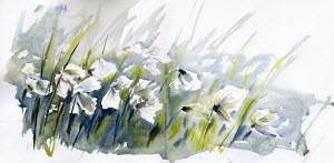 Cotton grass blowing in wind