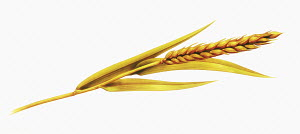 Single ear of wheat