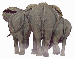 Rear view of elephants walking away