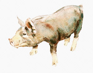 Watercolor painting of pig