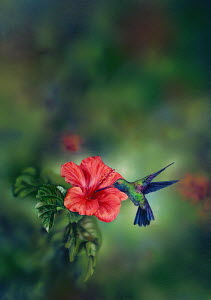 Hummingbird feeding from hibiscus flower