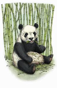 Giant panda sitting eating bamboo