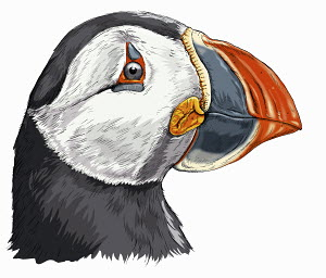 Close up head and shoulders of Atlantic puffin