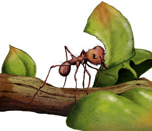 Close up of leafcutter ant on twig with leaf