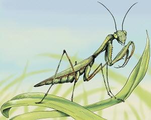 Close up of praying mantis on blade of grass