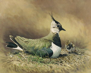 Lapwing sitting in nest with chick