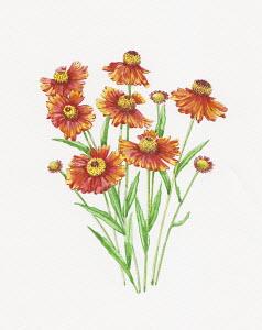 Bunch of Helenium flowers, Moerheim Beauty