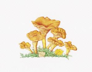 Chanterelle (Cantharellus Cibarius) mushrooms