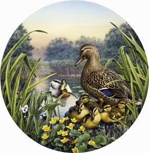 Male and female mallard ducks (Anas Platyrhynchos) with ducklings by idyllic lake