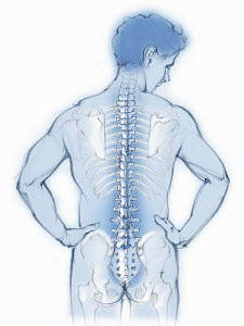 Spine and back bones in transparent man