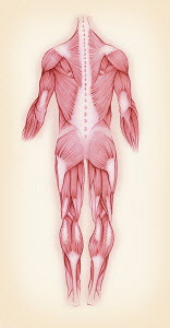 Biomedical illustration of muscles in the male human body