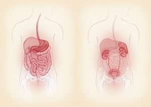 Biomedical illustrations showing male digestive system and urinary system side by side