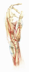Biomedical illustration the bones, muscles and blood supply in the human hand