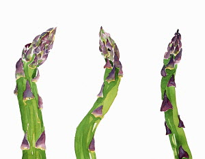 Watercolor painting of fresh asparagus spears