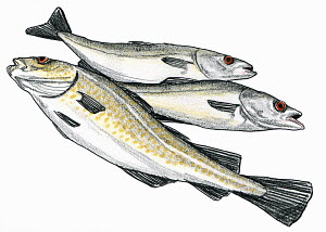 Three fish on white background