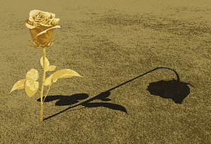 Rose in bloom casting wilting shadow