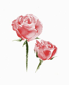 Watercolour painting of two pink roses
