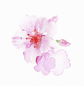 Watercolour painting of pink blossom