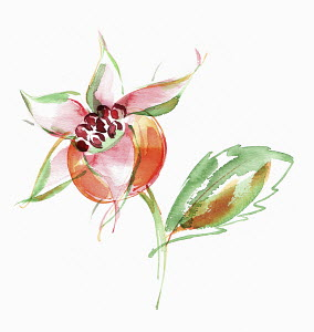 Watercolour painting of rosehip